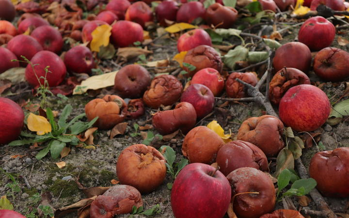 No Fruit rotting on the ground at a Napier orchard.