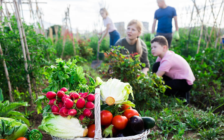 Freshly picked vegetables and greens in wicker basket in garden on background with working adults and children. Successful family gardening concept