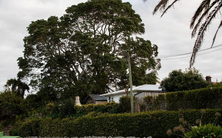 Auckland Council admitted human error likely resulted in the pohutukawa being left off the list.
