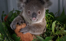 Their specific diet of eucalyptus leaves means that koalas are vulnerable to habitat loss.