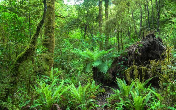 New Zealand native rain forest.