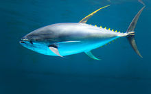 The yellowfin tuna (Thunnus albacares) is a species of tuna found in pelagic waters of tropical and subtropical oceans worldwide. (Wikipedia)