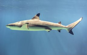 The blacktip reef shark (Carcharhinus melanopterus) easily identified by the prominent black tips on its fins. (Wikipedia)