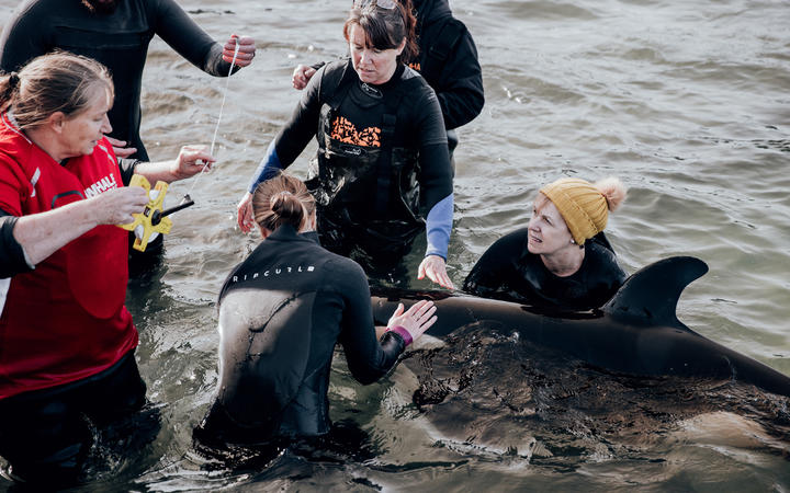 Rescuers and volunteers take care of a stranded baby orca at Plimmerton, Wellington.