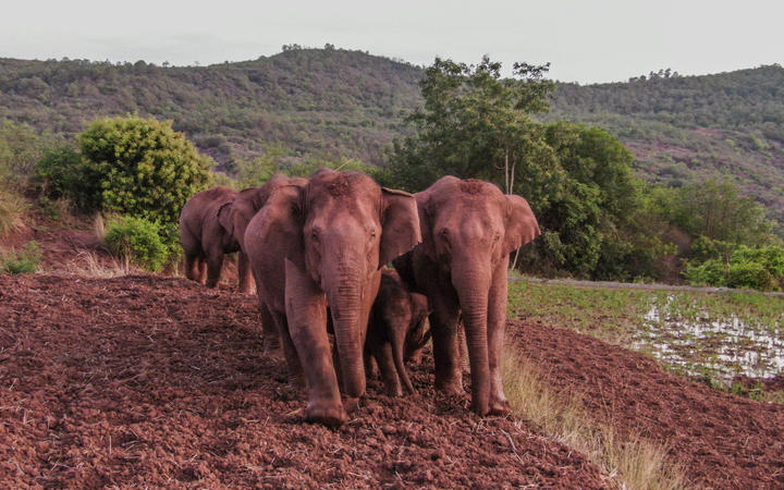 The wandering elephants who've taken China by storm