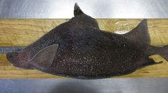 Prickly dogfish (Oxynotus bruniensis)