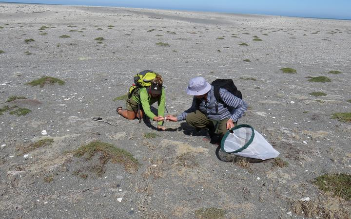 DOC Ranger Inga Booiman and Manaaki Whenua - Landcare Research taxonomist Robert Hoare search for the Kiwaia 'Cloudy Bay' moth. The grey-brown plant patches are the moth's host plant Raoulia australis.