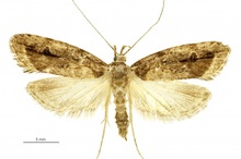 The lichen tuft moth