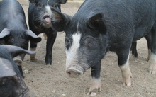 Pigs at Woody's Farm