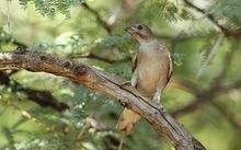 Lesser honeyguide Indicator minor