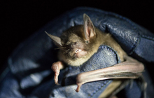 The Short Tailed Bat