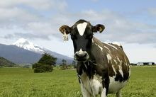 A Holstein-Friesian dairy cow in pasture at Okato, Mt Taranaki in background