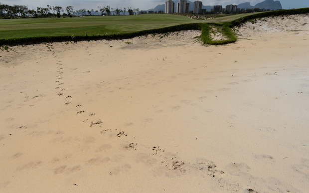 Capybara prints in a sand bunker at the Rio 2016 Olympics golf course.