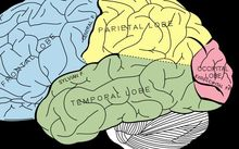 Because the temporal, occipital, and parietal lobes are so close, electrical activity can easily travel between them