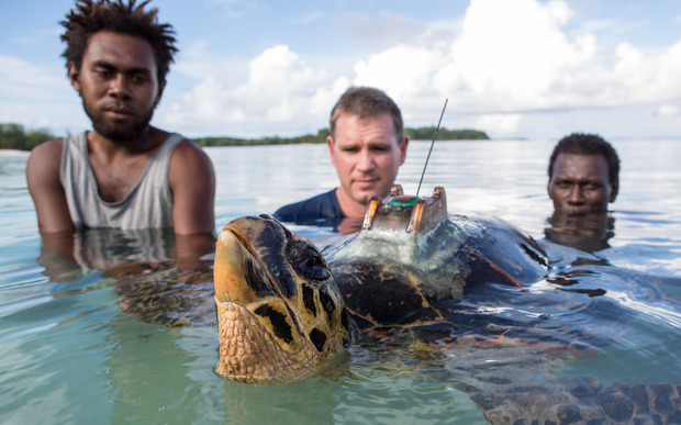 Conservation officers and conservancy scientists release a tagged hawksbill turtle.