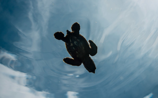 Baby hawksbill sea turtle swimming away after hatching in the Arnavon Islands.