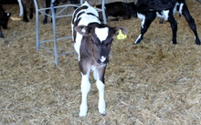 A calf at the Lincoln University Dairy Farm