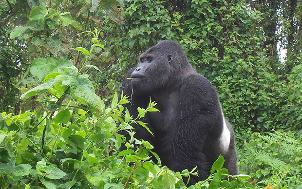 Male gorilla at Kahuzi Biega National Park, Democratic Republic of Congo.