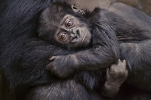 A baby Eastern lowland gorilla in its parent's arms, Kahuzi Biega National Park, Democratic Republic of Congo.