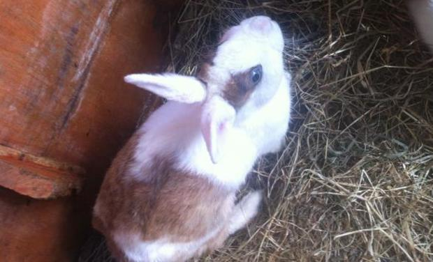 One of the rabbits that vanished from a breeder's property recently.