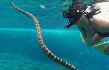 An extremely attractive snorkeler looks at a sea snake at a coral reef