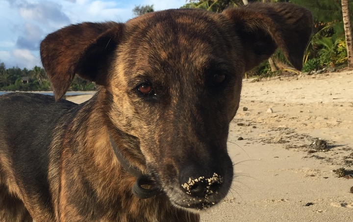 Eight to 10 percent of visitors to the Cook Islands will often make complaints about stray dogs.