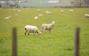 Sheep in the Hawke's Bay area