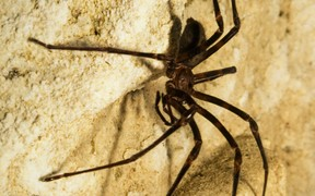 Nelson Cave Spider
