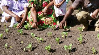 UNDP supported programme in Vanuatu to share farming techniques to improve resilience to climate change. Aug 2015.