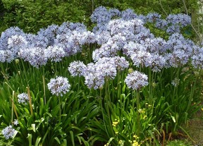 Sea of agapanthus blooms