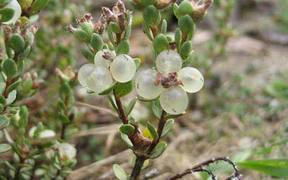 The tiny unloved shrubby plant faces imminent extinction.