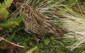 The elusive and enigmatic snipe, or tutukiwi.