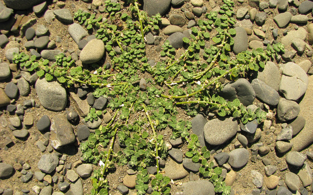 Pygmy goosefoot has been rediscovered in two parts of the South Island.
