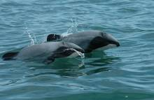 Hector's dolphins.