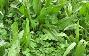 Plantain and clover pasture mix