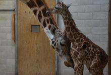 Giraffes give birth standing up, with their calves dropping to the ground from a height of about six feet.
