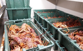 300 kg of crayfish waiting in the fridge at Takahanga marae for the hundreds of locals and stranded tourists tomorrow.