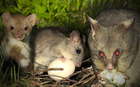 From left to right, a stoat, rat, and possum.