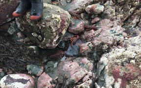 Dead paua and crayfish near Ohau Point seal colony