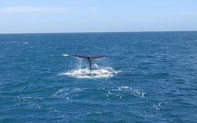 One of five whales spotted off the Kaikoura coast a week after the earthquakes.