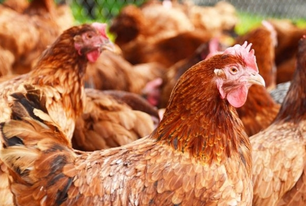 Chickens in a free-range poultry farm (file photo - country unspecified)
