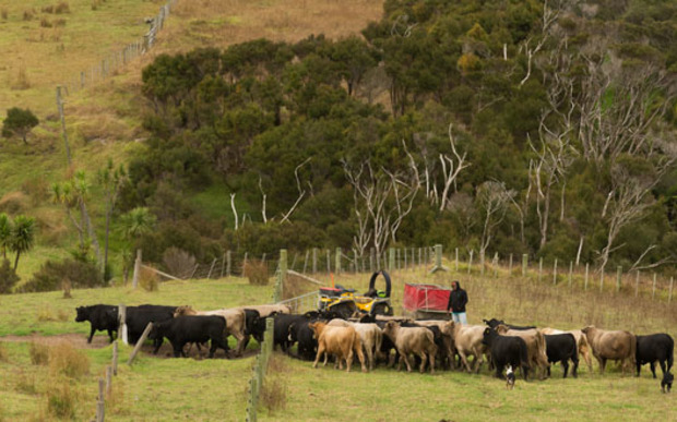 Cattle on Paua Station.