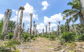 Replanting at a palm oil plantation.