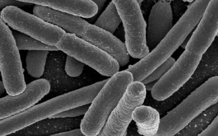 Escherichia coli, one of the many species of bacteria present in the human gut