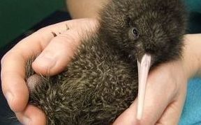 Whittaker - a five-day-old rowi kiwi