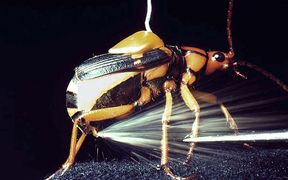 Bombardier Beetle spraying