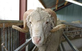 20 years of genetic breeding at Earnscleugh Station has created Merino sheep capable of producing some the finest wool fibres on the planet.