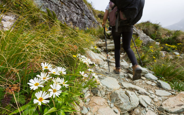 Stock Photo - white alpine flower on Routeburn Track, New Zealand