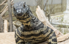 Bruce the lace monitor
