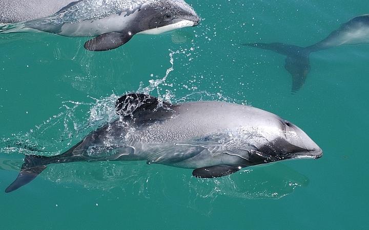 Maui dolphin.